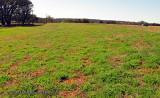 Bluebonnet seedlings in Mason County
