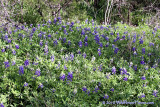 Joe Johnston Trail Bluebonnets