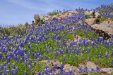 Bluebonnets on the Rocks