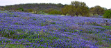SH71 Field of Bluebonnets Pano