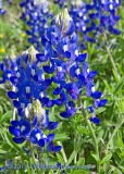 Bluebonnet Family