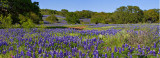Bluebonnet Field Panorama