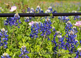 Ennis - Bluebonnets Share the Stage