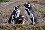 Pinguino de Magallanes (Magellanic Penguin)