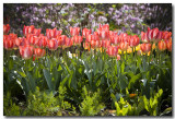 Tulip Excitement