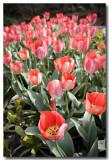 Springs Tulips