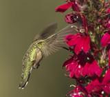 Anna's Hummingbird (Juvenile)