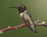 Black-chinned Hummingbird