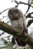 Great Gray Owl (Fledgling)