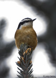 Reb-breasted Nuthatch
