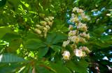 Double Chestnut Tree Blossom