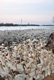 Water Birds On Vistula River