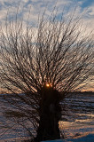 Sunset Behind Willow