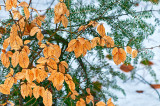 Foliage Autumnal Against Evergreens