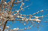 Bright Sunshine On The Twigs And Snow