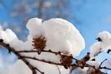 Larch Cones Under White Quilt
