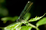 Mysterious Life Of Dragonfly