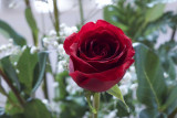 Rose @f2.8 GF1