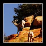 Zion Bighorn
