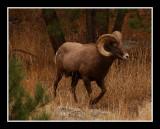Bighorn on the Run