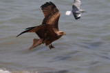 Black Kite - Zwarte Wouw.
