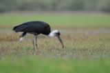 Woolly Necked Stork