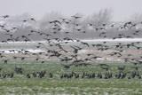 Rotgans - Barnacle Geese