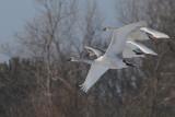 Knobbelzwaan - Mute Swan - Cugnus olor