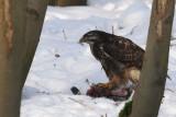Buizerd - Buzzard  on  dead pigeon