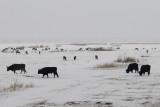 Red Deer - Edelhert  & Heck-Cattle