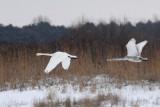 Wilde zwanen  - Whooper Swan - Cygnus cygnus