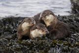 Shetland Otters by Brydon Thomason  &  Peter Zwitser  www.shetlandnature.net