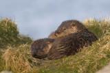 Ottercubs  photo: Brydon Thomason