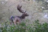 Fallow-Deer - Damhert