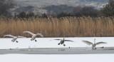 Whooper Swan - Wilde Zwaan - Cygnus cygnus