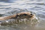 Otter - photo: Brydon Thomason