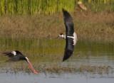 Back-Winged Stilt - Himantopus himantopus - Steltkluut
