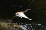 Squacco Heron - Ardeolo ralloïdus