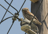 Little owl - Athene noctua - Steenuil