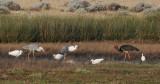 Black Stork - Ciconis nigra - Zwarte Ooievaar