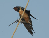 Barn Swallow - Hirundo rustica(transitiva) - Boerenzwaluw