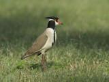 Black-Headed Plover [Vanellus tectus]