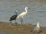 Western Reef Heron and Little Egret [ Egretta gularis and Egretta garzetta]