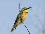 Little Bee-Eater [ Merops pusillus ]