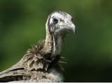 Hooded Vulture [ Necrosyrtes monachus
