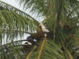 Palmnut Vulture [Gypohierax angolensis ]