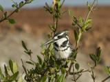 Pied Kingfisher [ Ceryle rudis ]