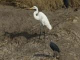 Great White Egret [ Egretta alba ]