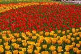 DSC_9557 Tulips