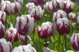 DSC_9563  Tulips